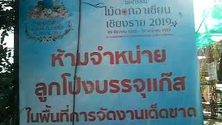 チェンライASEANフラワーフェスティバルで天然バイアグラ発見! At Chiang Rai ASEAN Flower Festival, found natural Viagra plant!