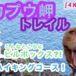 4K 【マカプウトレイル】マカプウ岬でゆったりハイキング!ピルボックスも発見!元保護犬ピットブル【ハワイ 犬さんぽ】