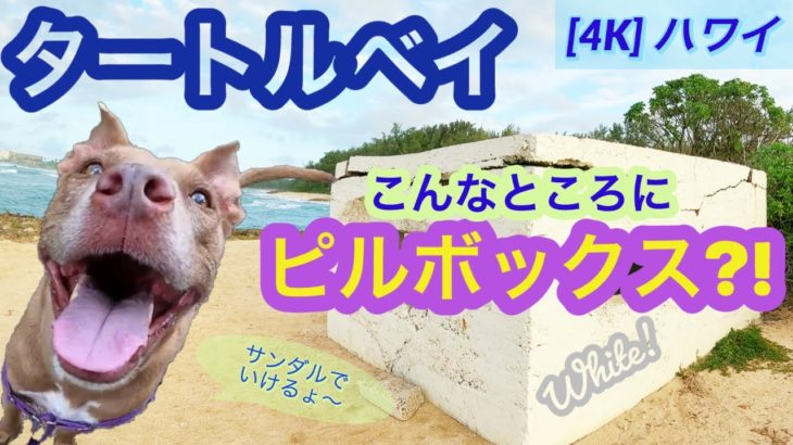 4K 【ハワイ犬さんぽ】超絶簡単に行けるピルボックス!タートルベイにあるホワイトピルボックス!元保護犬ピットブル